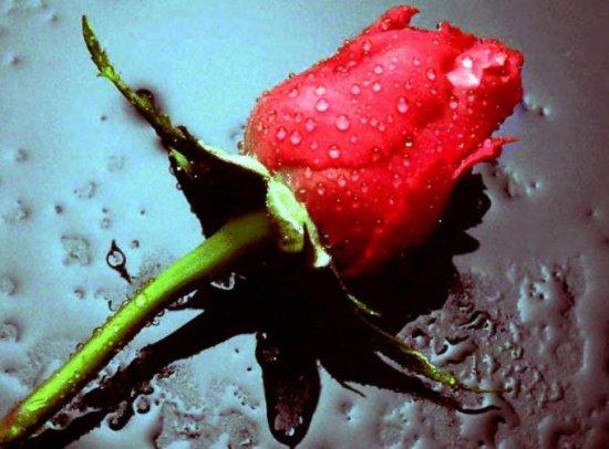 Ruže za dugoraćanke